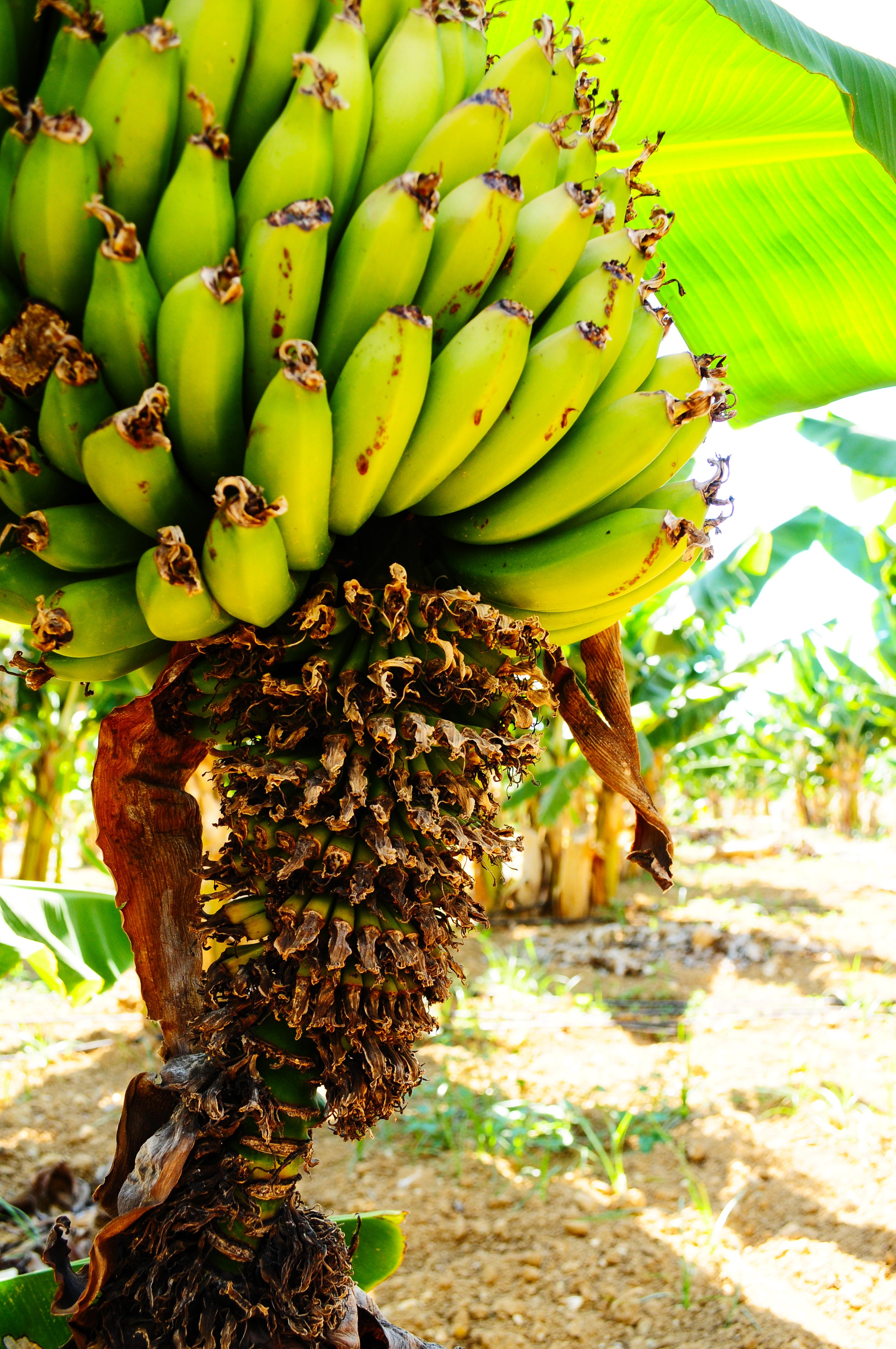 äta mycket bananer